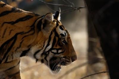 Ranthambore Tiger -2