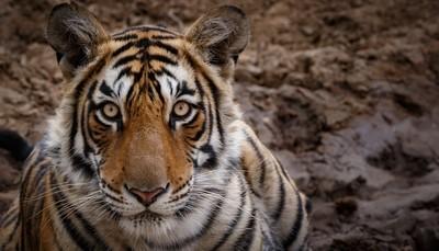 Ranthambore Tiger -4