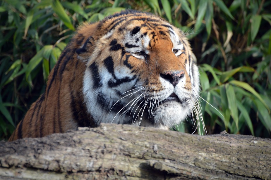 This beautiful Siberian Tiger was hiding behind his log, waiting to pounce on his companion. Appa...
