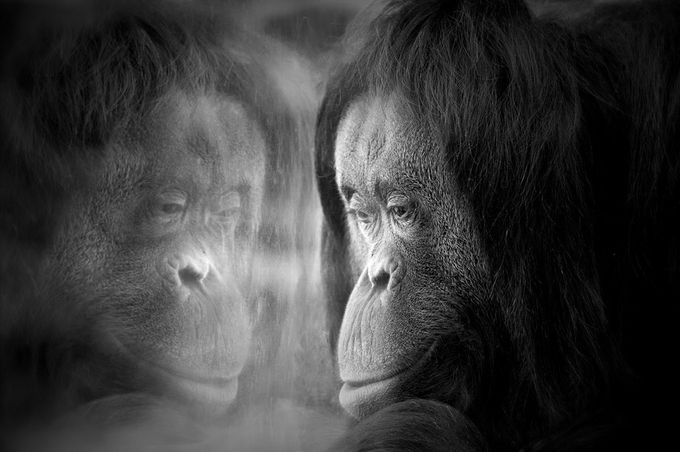 Face to face by pierreduquoc - Monkeys And Apes Photo Contest