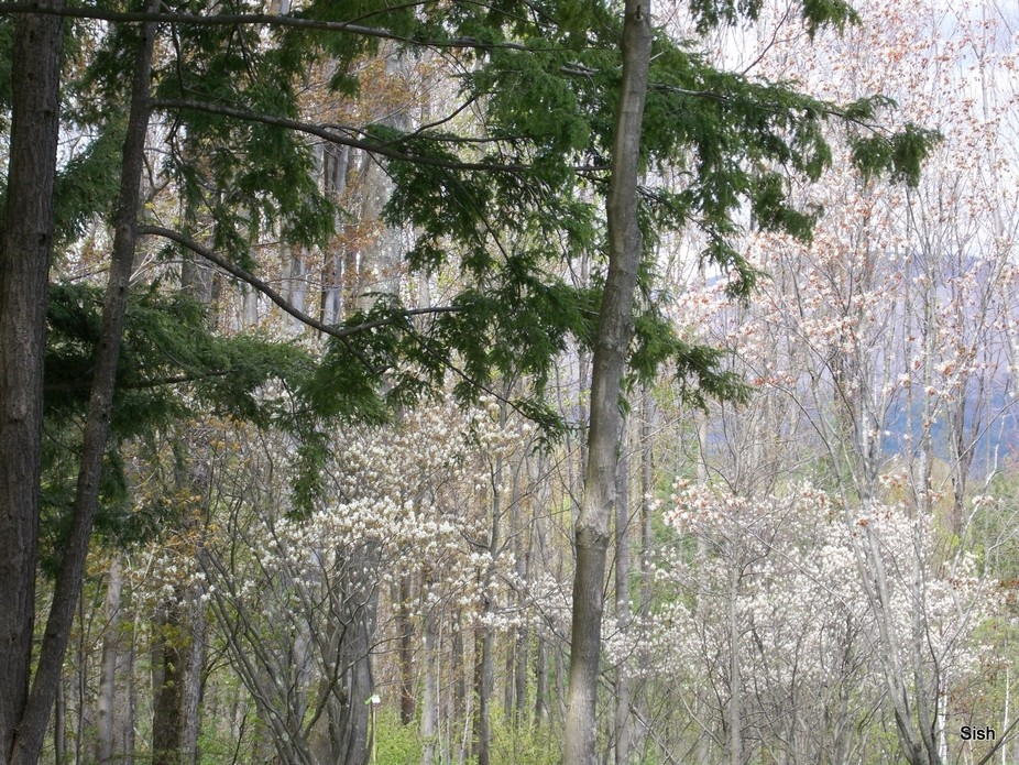 Early Spring catching delicate white buds,Lush green pines, and golden flecks of leaves from wint...