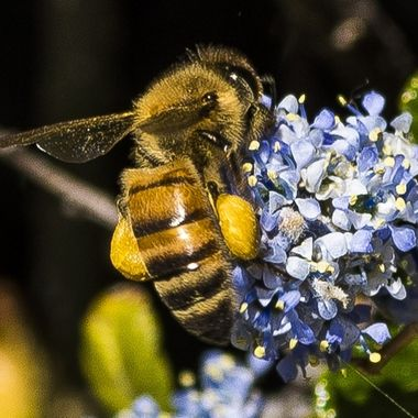 Honey bee busy adding to his pollen collection.