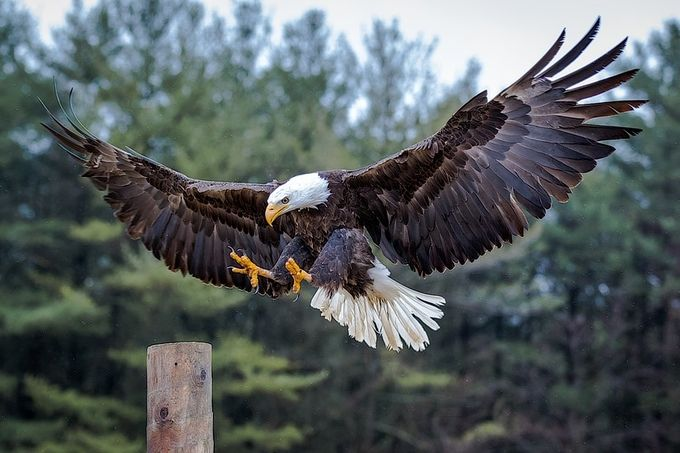 Bald Eagle by Lpepz - Just Eagles Photo Contest