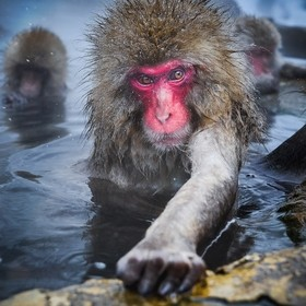 A Japanese Snow Monkey taking a nice relaxing bath in the natural hot springs which occur in the mountains of Japan.