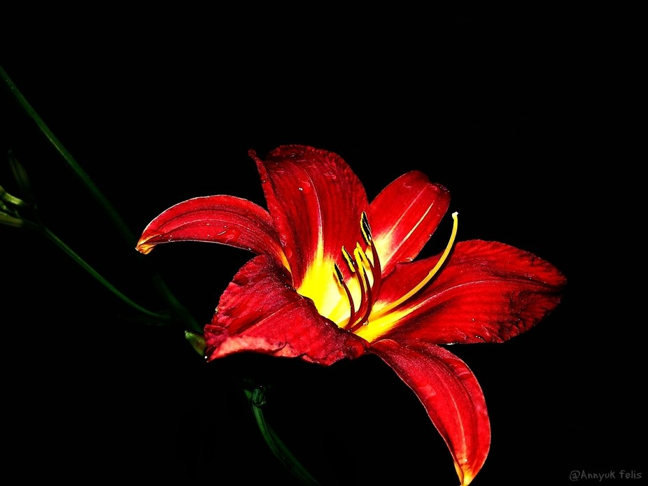 The Lily burns Red yet!