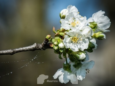 Cherry flowers (and a spider web)