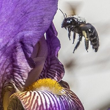 Bumble Bee checking out the interior of an iris flower