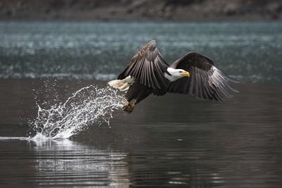 Bald Eagle 20