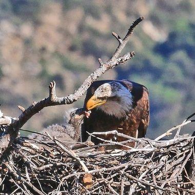 Bald Eagle Feeding IMG_2563