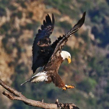Bald Eagle landing IMG_2853