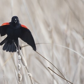 A Redwing Blackbird perches on a reed as it calls and puffs its chest.