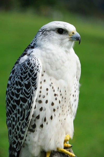 White gerfalcon this photo was taken in Austria. This bird migrates from the northern parts of Europe to more temperate climate