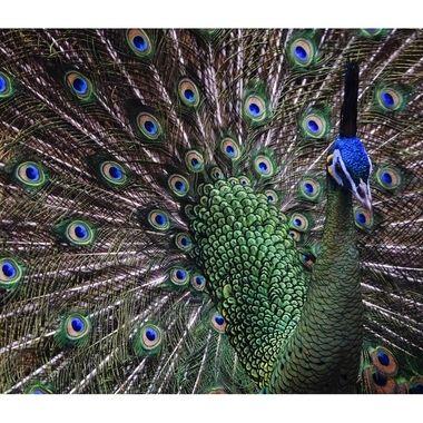 Peacock spread copy