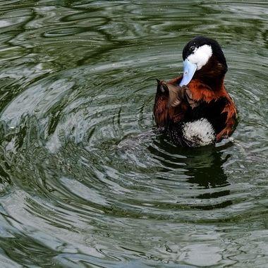 Blue Nose Duck 1