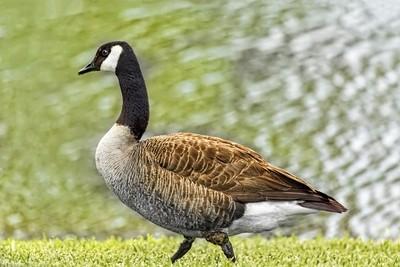 Proud Goose