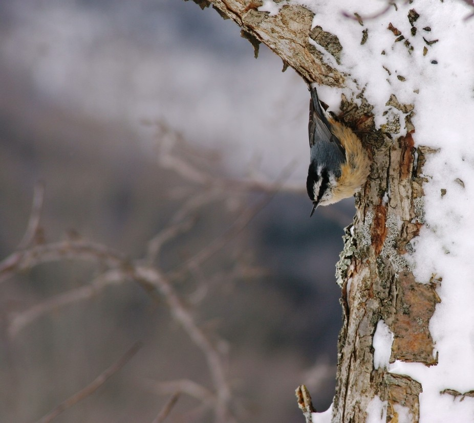 red breasted nuthatch pose