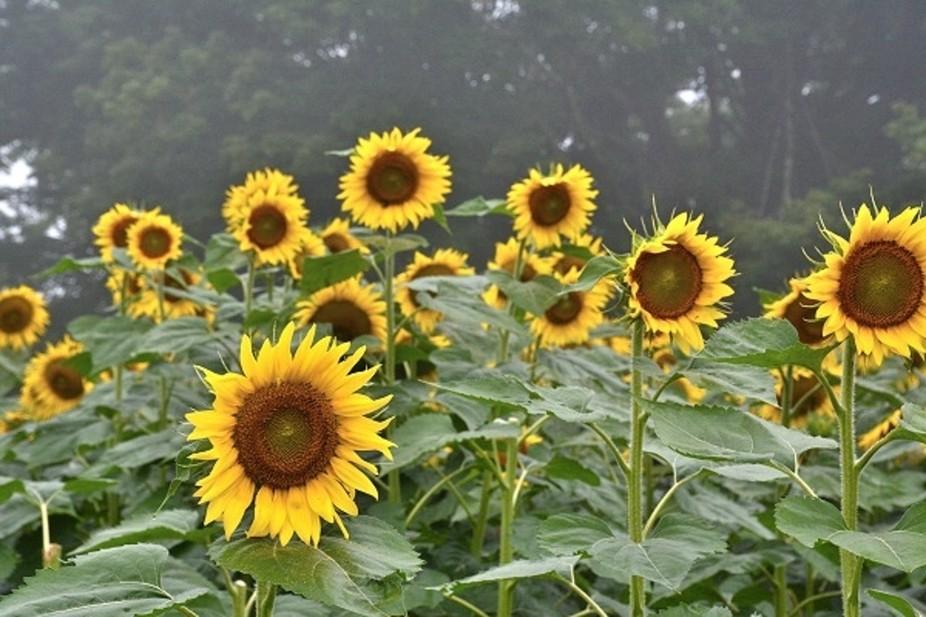 Sunflowers in Fog