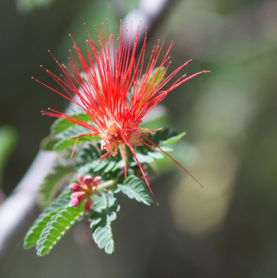 I was at Desert Museum in Tucson and spotted this bottle brush tree outside the hummingbird aviary Lens:Nikon 70-300mm