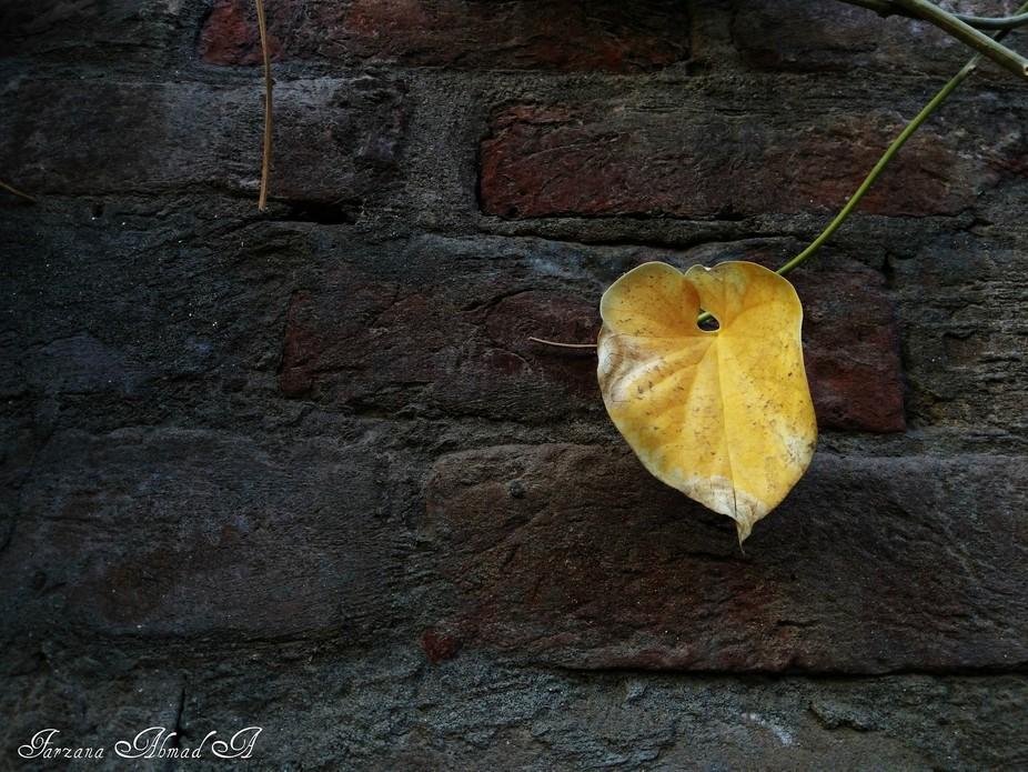 Last Leaf ........