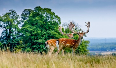 More Deer at Petworth House, Sussex, England