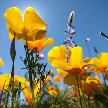 Poppies at the White Tanks - Waddell,AZ