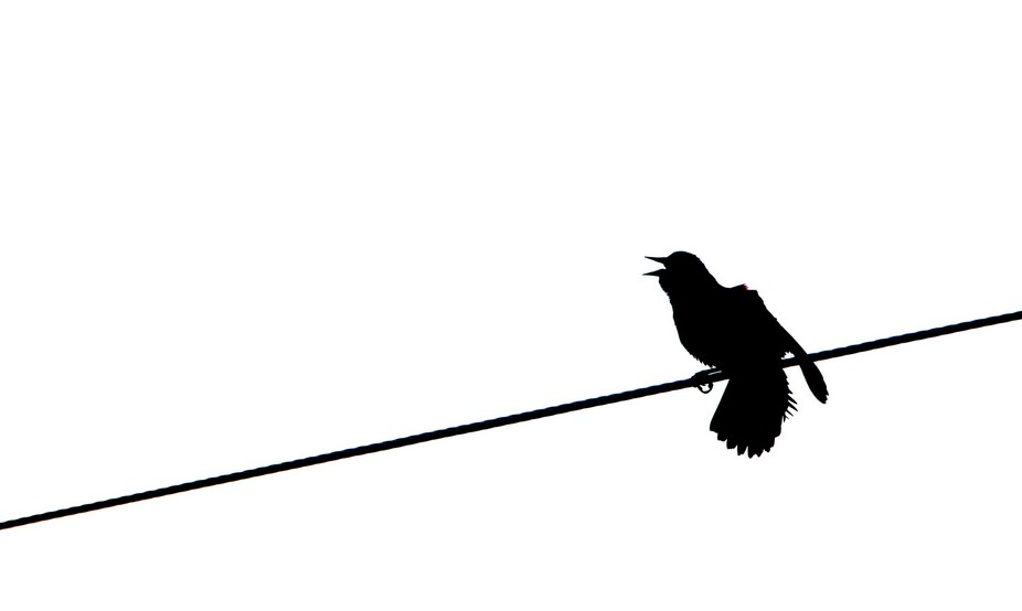 Red winged Blackbird on a wire