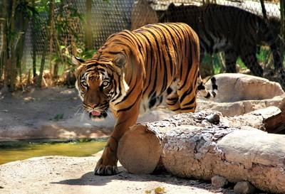 IMG_7063, Malaysian Tiger, Reid Park Zoo, Tucson Arizona