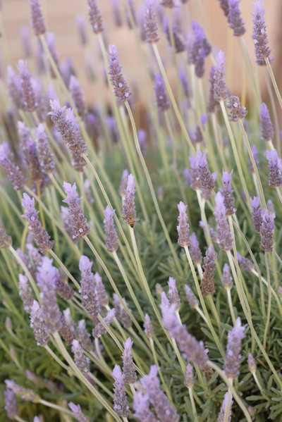 Lavender Meadow with Honey Bee