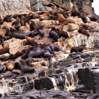 Seals-akimbo #seals #sealsofinstagram #tasmanianseal #tasmanianfurseal #discovertasmania #tasmaniagram #hobartandbeyond #instatassie #tassiepics #tassie #hobart #southerntasmania  #tassiestyle #australiagram #focusaustralia #ig_discover_australia #austral