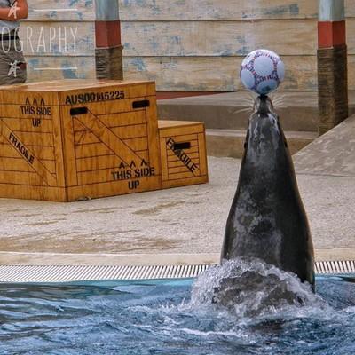 Mitchie the seal at Sydney Zoo #seal #sealsofinstagram #sydney #sydneyzoo #sealsatthezoo #sydneylife #sydneycbd #australiagram #focusaustralia #ig_discover_australia #australia_shotz #ig_down_under #ig_creativephotography #instalike #ig_aussiepix #1more_a
