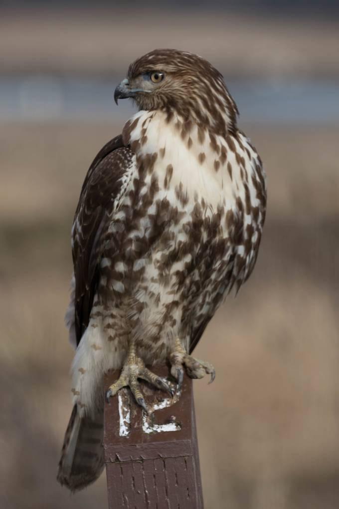 Sharp shinned hawk (1 of 1)
