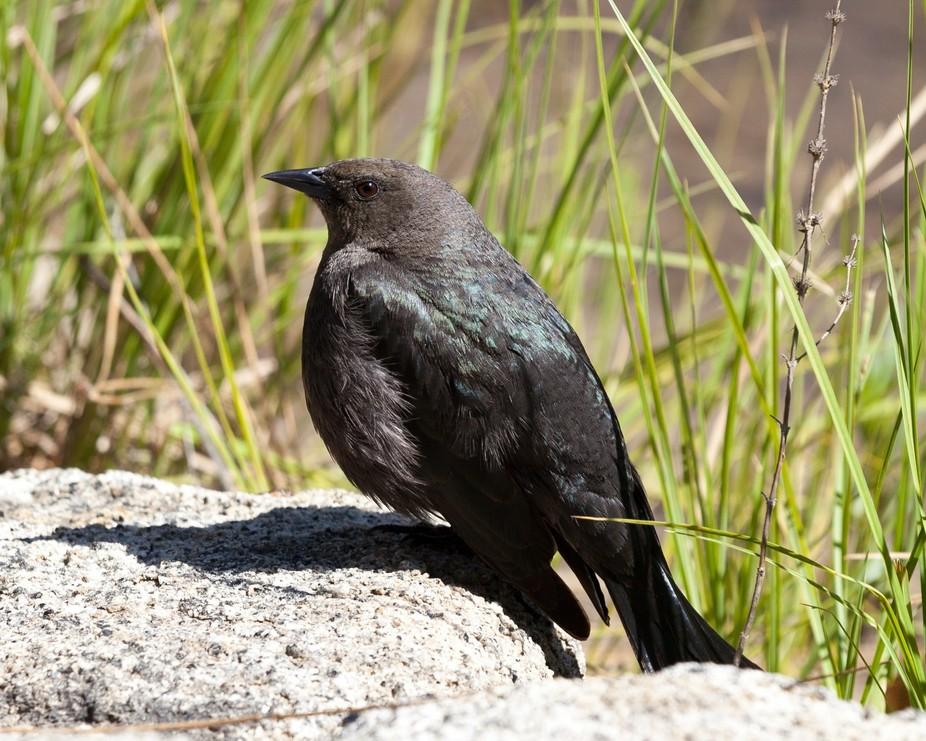 Blackbird by Creek