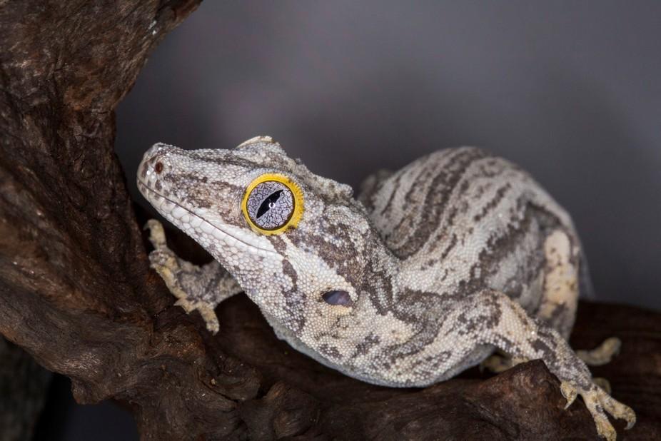Striped Gargoyle Gecko