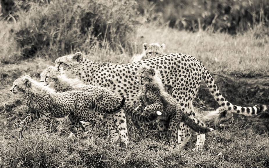 Malaika is a famous Masai Mara cheetah, here with 5 cubs of about 3-4 months . To have survived a...