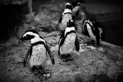 Penguin Preservations v1