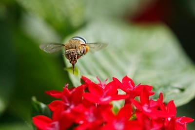 Blue banded bee in motion