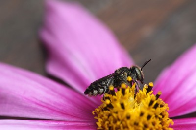 Native bee on Cosmos