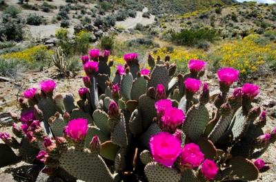 Beavertail Cactus Opuntia basilaris