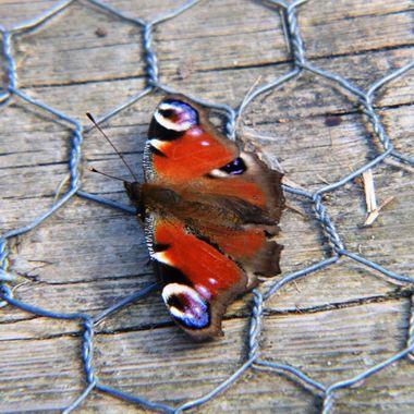 Peacock Butterfly on boardwalk.