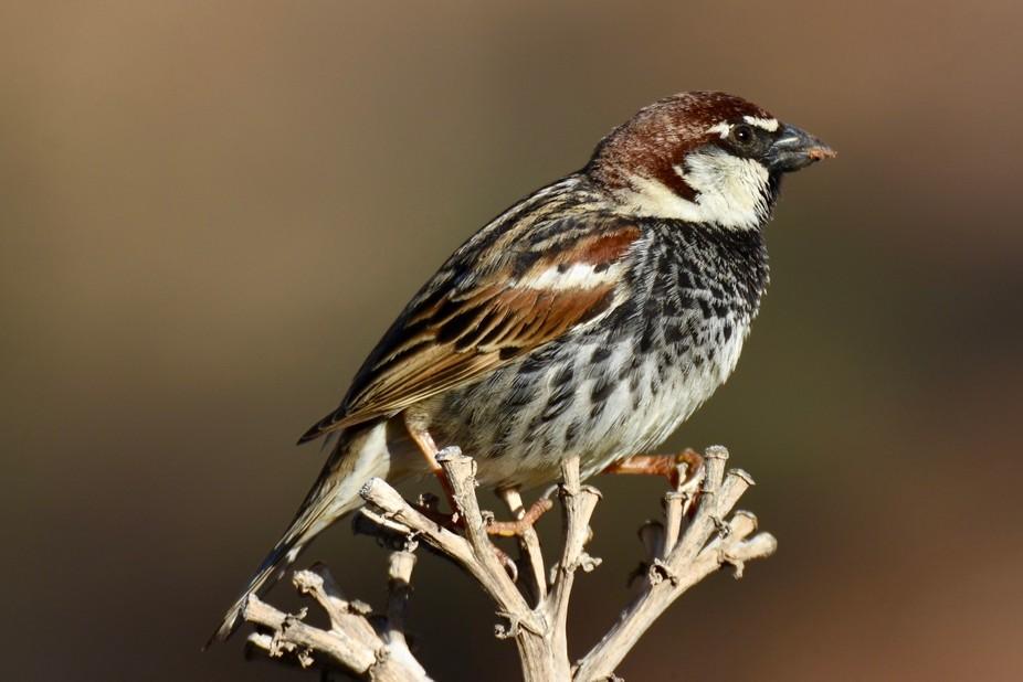 Male Spanish sparrow