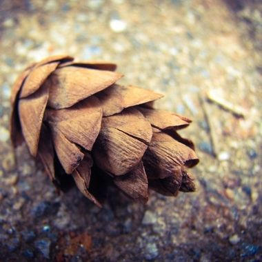 Whitni's Pinecone