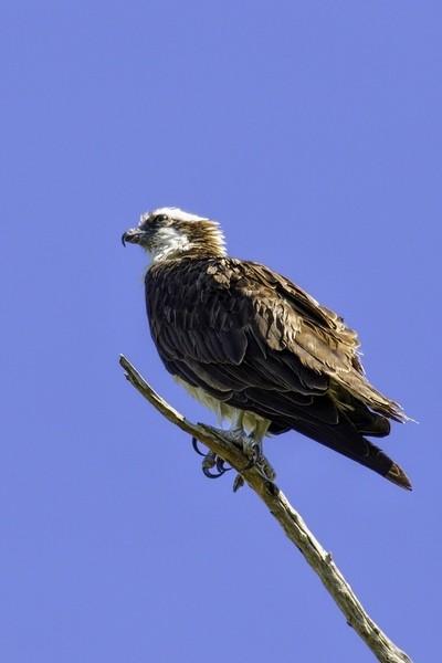 Osprey on watch