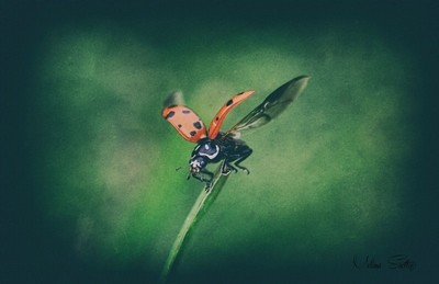 Lily the Ladybug...