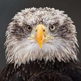Bald eagle (Haliaeetus leucocephalus) - Animal in human care.