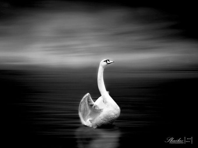 swan by Shaila - My Best Shot Photo Contest Vol 2