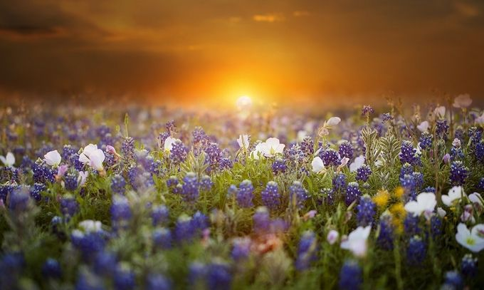 Evening Primrose and Bluebonnets by DeonG - Sunrise Or Sunset Photo Contest