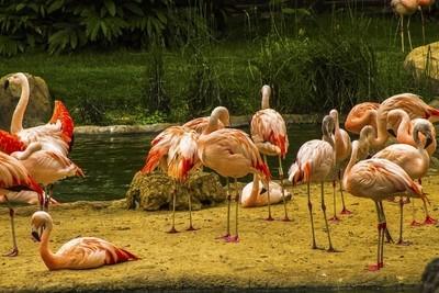Flamingos at Houston Zoo