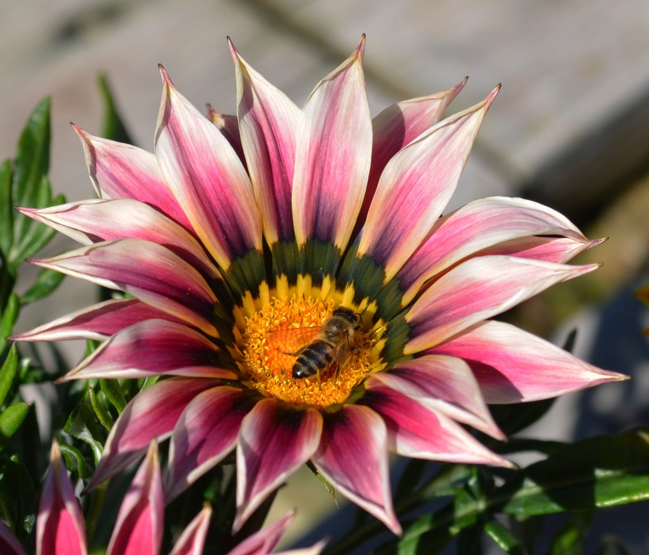 Pollenating bee Lens:Nikon 35-70mm