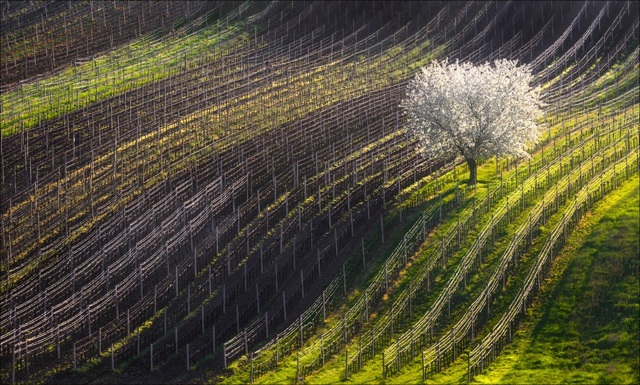 Moravian rolling landscape with apple tree and vineyards. South Moravian, Czech Republic.