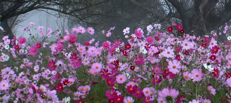 Dawn cosmos flowers in the foothills of the Drakensberg mountains Underberg South Africa April 20...